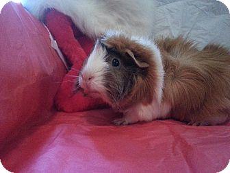 Guinea Pig for adoption in Harleysville, Pennsylvania - Flower