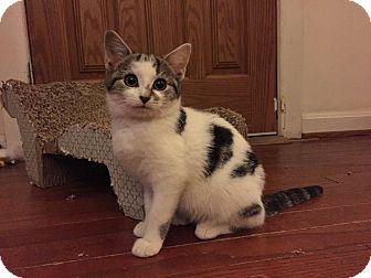 Domestic Mediumhair Kitten for adoption in Arlington, Virginia - Piper -Sweet Survivor