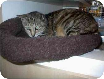 Domestic Shorthair Cat for adoption in Miami Beach, Florida - Mandy,Fl(URGENT)