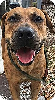 American Bulldog/Black Mouth Cur Mix Dog for adoption in Weston, Florida - Gus