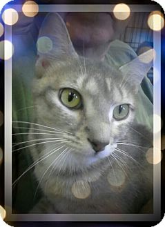 Domestic Shorthair Cat for adoption in Trevose, Pennsylvania - Salada
