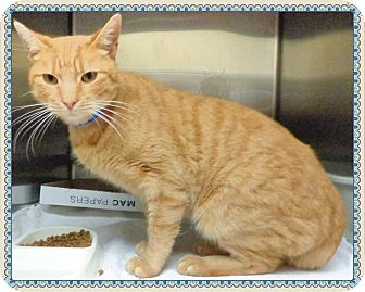 Domestic Shorthair Cat for adoption in Marietta, Georgia - ALEC- reclaimed