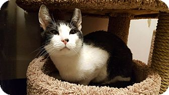 Domestic Shorthair Cat for adoption in Bensalem, Pennsylvania - Felix