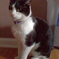 Domestic Shorthair Cat for adoption in Rockaway, New Jersey - Rudy (FIV+)