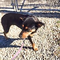 Adopt A Pet :: Honey - Aurora, MO