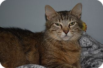 Maine Coon Cat for adoption in Winchester, Kentucky - Lilly