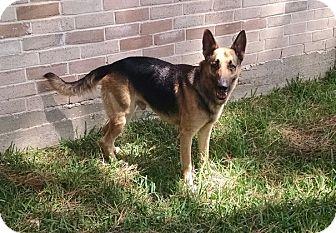 German Shepherd Dog Dog for adoption in Houston, Texas - Turbo Pending