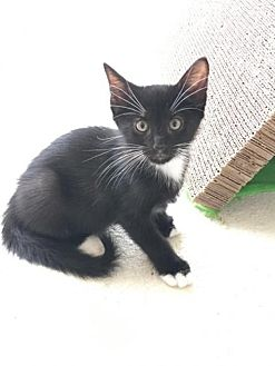 Domestic Shorthair Kitten for adoption in Land O Lakes, Florida - Ray