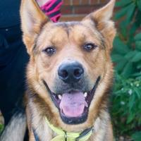 Adopt A Pet :: Shep - Salem, OH