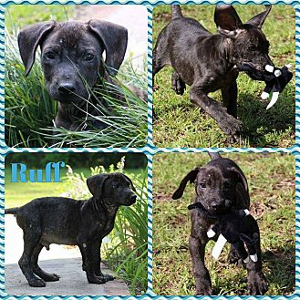 Labrador Retriever/Hound (Unknown Type) Mix Puppy for adoption in Ringwood, New Jersey - Tuff