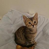 Adopt A Pet :: Gemma-Rutherford - Asheville, NC