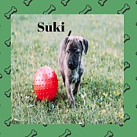 Adopt A Pet :: Suki - WESTMINSTER, MD