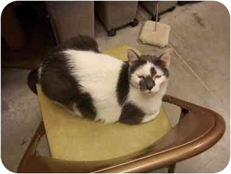 Domestic Mediumhair Cat for adoption in San Diego/North County, California - Wedgie
