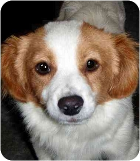 Cavalier King Charles Spaniel/Spaniel (Unknown Type) Mix Dog for adoption in Los Angeles, California - Jameson *VIDEO*