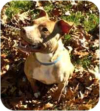 American Pit Bull Terrier Mix Dog for adoption in Milton, Massachusetts - Hildy