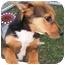 Photo 1 - Shepherd (Unknown Type)/Corgi Mix Puppy for adoption in Hammonton, New Jersey - Pontiac