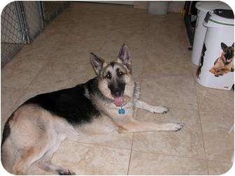 German Shepherd Dog Dog for adoption in Green Cove Springs, Florida - Roger