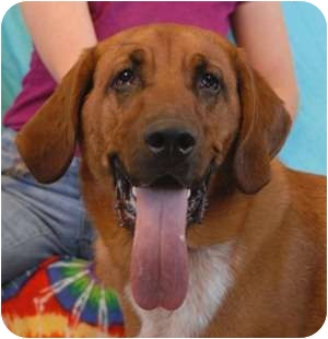 Bloodhound Mix Dog for adoption in Las Vegas, Nevada - Massey