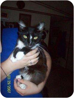 Domestic Longhair Cat for adoption in Hopkinsville, Kentucky - Lillie