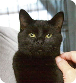 Domestic Shorthair Cat for adoption in Tillamook, Oregon - Junior