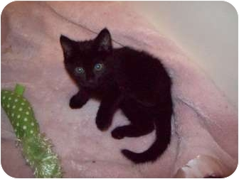 Domestic Shorthair Kitten for adoption in Dale City, Virginia - Goblin