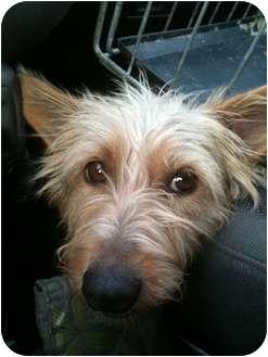 "Cairn Terrier/Westie, West Highland White Terrier Mix Dog for adoption in Toronto/Etobicoke/GTA, Ontario - Little Miss ""Muppet"""