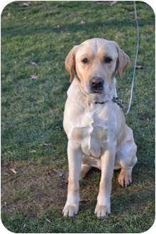 Labrador Retriever Dog for adoption in Salem, Massachusetts - Bobby