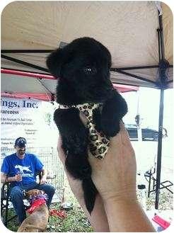 Labrador Retriever Mix Puppy for adoption in Palm Harbor, Florida - Lab mix babies
