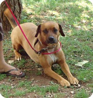 Boxer/Mountain Cur Mix Dog for adoption in Plainfield, Connecticut - Luna 100$ reduction