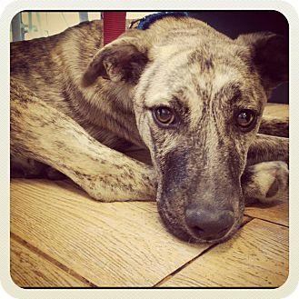 Australian Shepherd Mix Puppy for adoption in Los Angeles, California - Riley