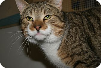 Domestic Shorthair Cat for adoption in Trevose, Pennsylvania - Thomas