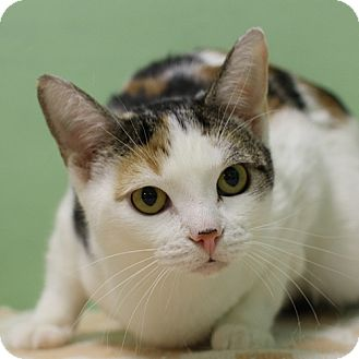Domestic Shorthair Cat for adoption in Lyons, New York - Susie