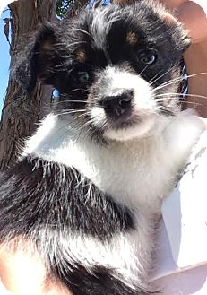 Terrier (Unknown Type, Medium)/Spaniel (Unknown Type) Mix Puppy for adoption in Encino, California - Maeve - Nanna puppy