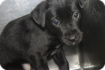 Labrador Retriever Mix Puppy for adoption in East Rockaway, New York - Stitch