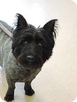 Scottie, Scottish Terrier/Westie, West Highland White Terrier Mix Dog for adoption in Brookings, South Dakota - Bonnie