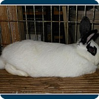Adopt A Pet :: Roma - Williston, FL