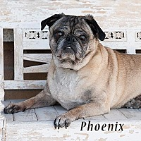 Pug Dog for adoption in Tontitown, Arkansas - Phoenix