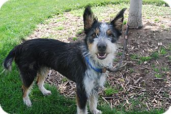 Terrier (Unknown Type, Medium)/Border Collie Mix Dog for adoption in Twin Falls, Idaho - Maylee
