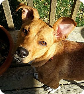 Carolina Dog/Beagle Mix Dog for adoption in Lincoln, Nebraska - GINGER