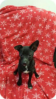 Chihuahua Mix Puppy for adoption in East Hartford, Connecticut - Pepe meet me 11/20