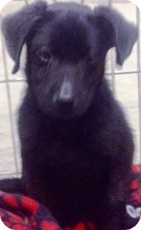 Newfoundland/Labrador Retriever Mix Puppy for adoption in Oswego, Illinois - Norbert
