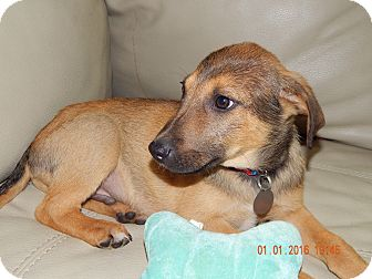 German Shepherd Dog/Black Mouth Cur Mix Puppy for adoption in Hamburg, Pennsylvania - Luke