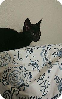 Domestic Shorthair Kitten for adoption in Davie, Florida - Diane