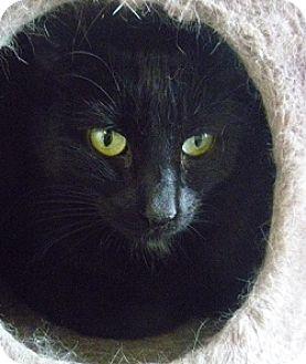 Domestic Shorthair Cat for adoption in Hamburg, New York - Gracie