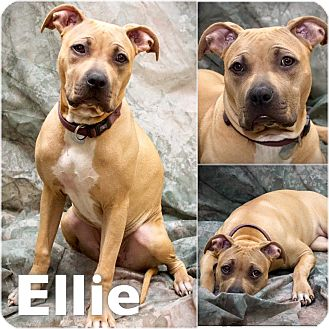 Boxer/Pit Bull Terrier Mix Dog for adoption in St Clair Shores, Michigan - Ella