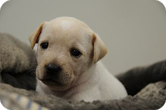 Jack Russell Terrier Mix Puppy for adoption in Agoura Hills, California - Bean