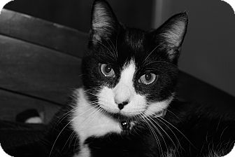 Domestic Shorthair Cat for adoption in Speonk, New York - Elroy