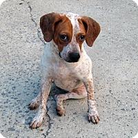Adopt A Pet :: Freckles - Huntsville, AL