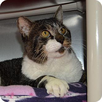 Domestic Shorthair Cat for adoption in Wheaton, Illinois - Charlie