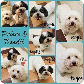 Bichon Frise Mix Dog for adoption in Joliet, Illinois - Prince